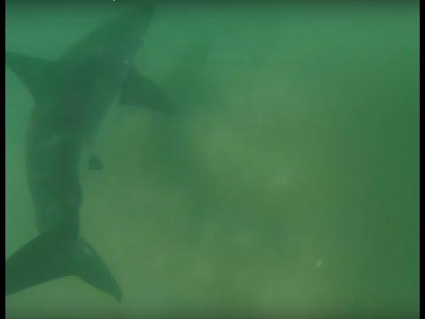 Great White Shark Spotted at El Porto in Manhattan Beach, California 10/15/2013