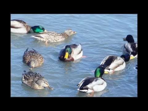Winter Ducks Play on Water by Hong Ting