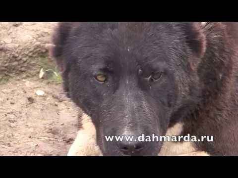 видео: Аборигенные САО Таджикистана саги дахмарда из Таджикибада в Дангаре