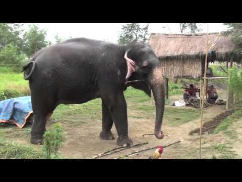 Elephant Nepal