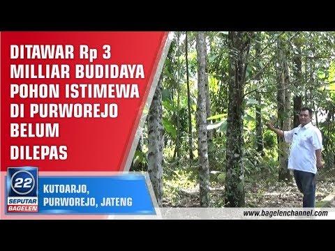 Ditawar Rp 3 Milliar Budidaya Pohon Istimewa Di Purworejo Belum Dilepas