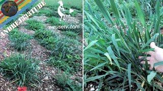 Grani antichi: come produrre più grano..un antico metodo naturale