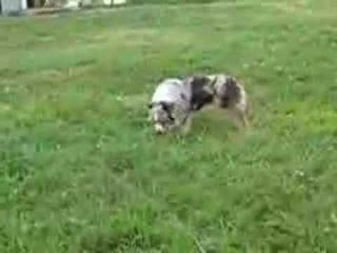 3 Australian Shepherds playing