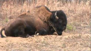 Buffalo lying on road