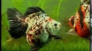 Золотые рыбки - породы, содержание, уход.