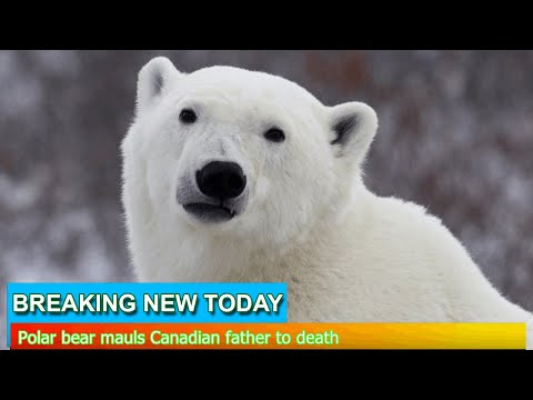 Breaking News - Polar bear mauls Canadian father to death