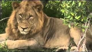 Lew- król sawanny afrykańskiej