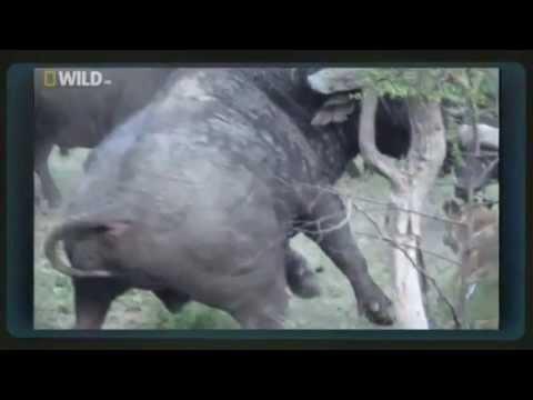 """[HD] Thế giới động vật:""""Trâu rừng trả thù sư tử"""""""