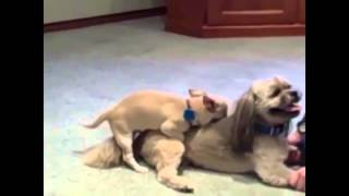 Repeat youtube video Chihuahua Mating In Love | Funny Dog Breeding