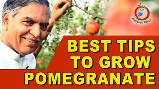 Tips for Growing Pomegranates Successfully(English) -దానిమ్మ సాగు లాభదాయకం చేయడానికి చిట్కాలు