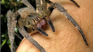 How Real Men Deal With Spiders In Australia