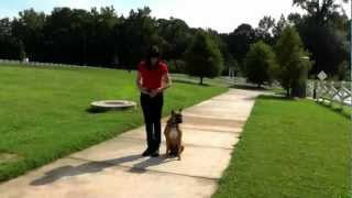 Rocco The Boxer 14-day Ride & Train (distraction Training)