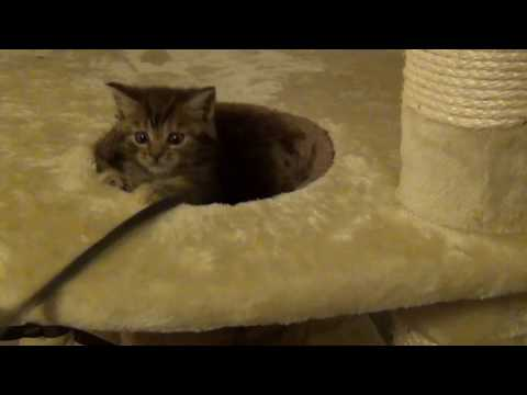 Biggie! Our 7 week old Gorgeous Maine Coon, British Shorthair Cross Kitten on her Cat Tree