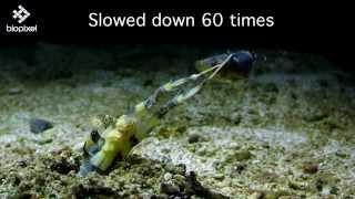 ultimate alien like spear mantis feeding on fish in slow motion