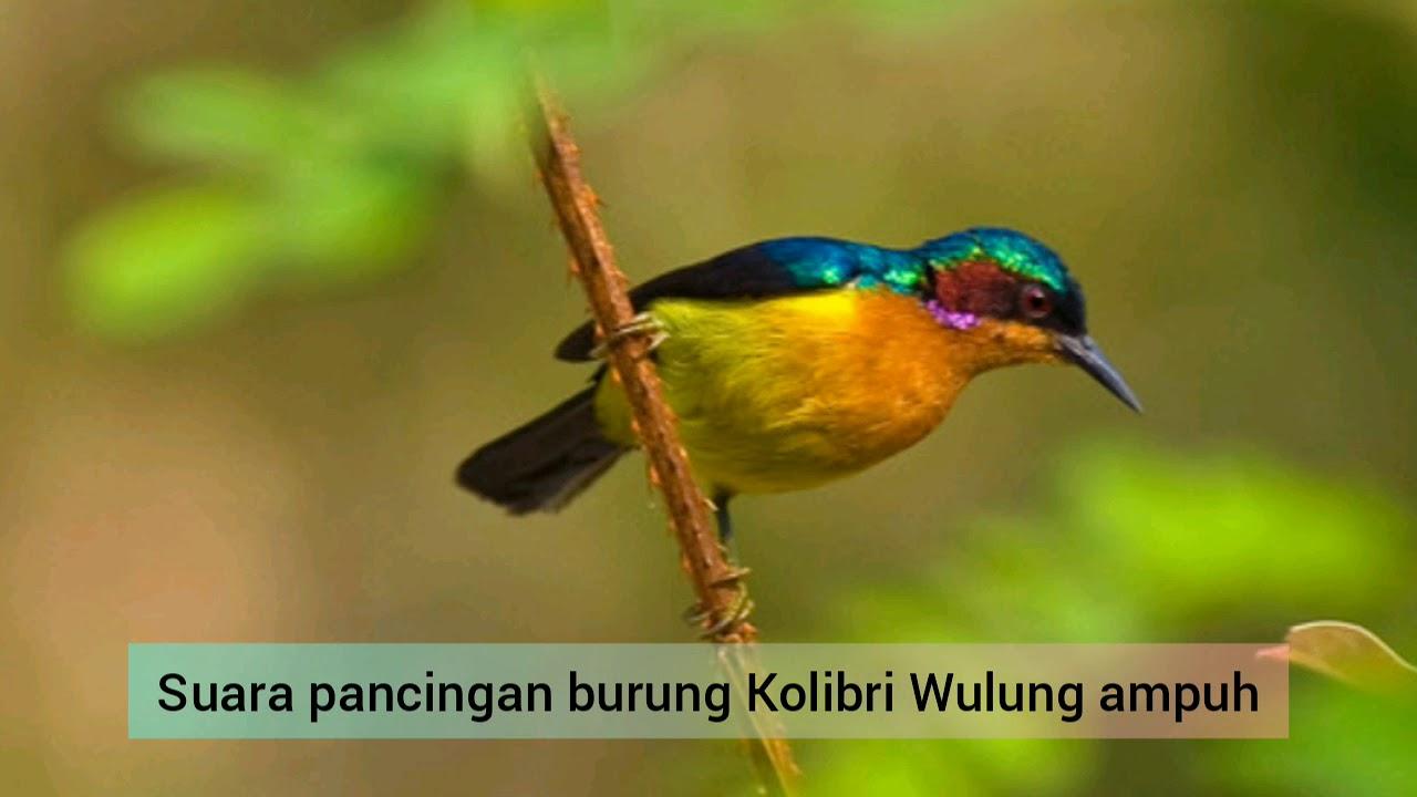 Suara Pancingan Burung Kolibri Wulung Youtube