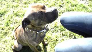 Tyson (staffordshire Bull Terrier) Needs A Home - Rspca Macclesfield