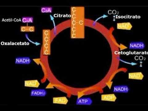 QCB. ADBEL 2008 Metabolismo de los carbohidratos - YouTube