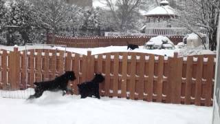 Giant Schnauzers At The Fence