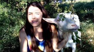 Сколько молока даёт коза и овца?
