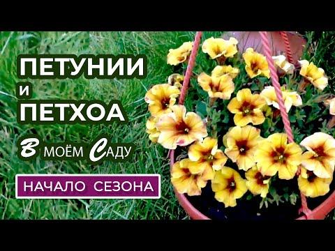 Обзор петуний и петхоа в июне. Чем подкормить для пышного цветения.