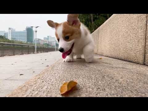 Funny Daily Chubby Corgi Dogs Cute Puppies 2019 Compilation 猫狗蠢萌合集 EP14