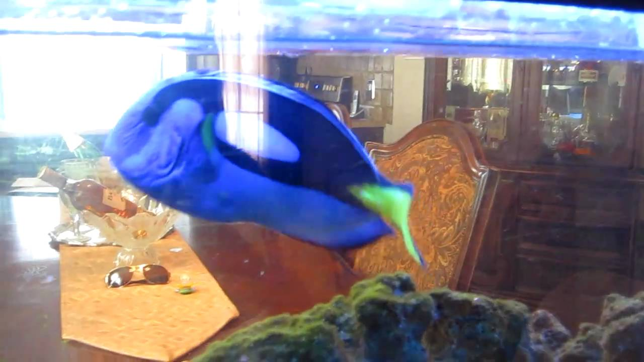 XXXL BLUE TANG *** 90 gallon fish tank for sale   YouTube