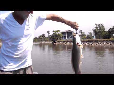 Giant Freshwater Fish Naples, Florida Canals