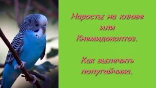 Лечим наросты на клюве попугая. Эффективное лечение попугая