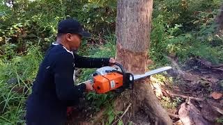 Tebang pohon jati pake ms 660 cina cut tree with clone stihl ms 660