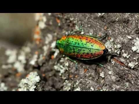 Jewel beetle Lamprodila rutilans laying eggs