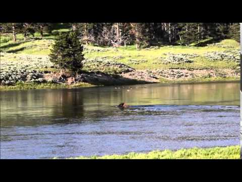 Bison swimming across river - Yellowstone