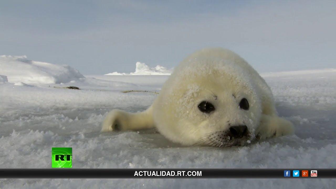 Salvemos a la foca bebé - Documental de RT - YouTube