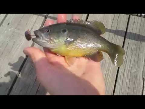 Sunfish Fishing For Bluegill, Pumpkinseed, Green Sunfish, And Warmouth