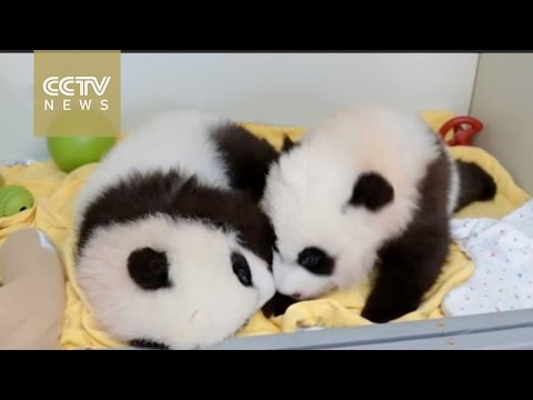US zoo holds traditional Chinese naming ceremony for baby giant pandas