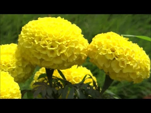 Beautiful Flowers Tagetes Erecta African Marigold Yellow Color