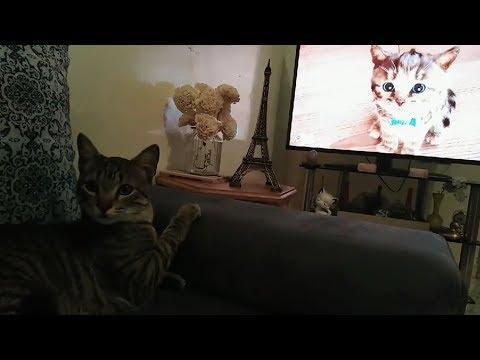 Egyptian Mau Cat Meet Cute Cat