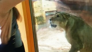 Lion Tries To Attack Girl at Zoo - Aggression Or Playfulness?