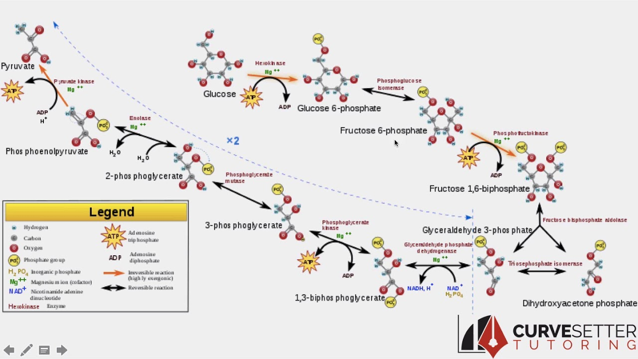 CurveSetter MCAT Quick Lesson: Glycolysis for the New MCAT
