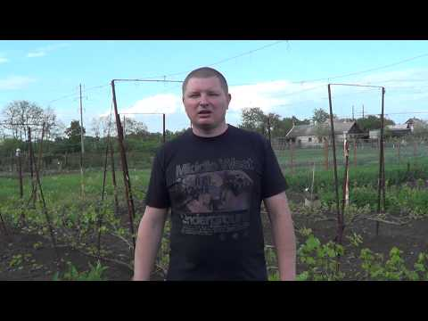 Зудень. Борьба с виноградным клещом. Виноград 2015.
