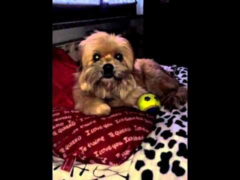 Lhasa Apso Blonde Dog like listening to music - Cane che piace ascoltare musica