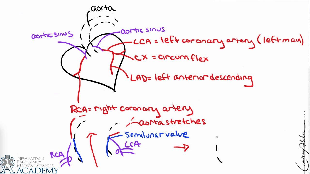 coronary arteries diagram branches phasor of single phase transformer circulation youtube