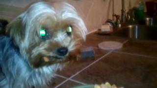 Yorkshire Terrier Eating Noodles Carrots And Eggs