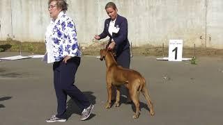 породы собак, Родезийский риджбек, видео с выставки собак в Великом Новгороде