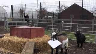 The Goat Race Mini Film