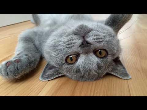 Как выглядит кот британец фото