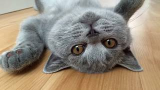 КОТЁНОК & ВЗРОСЛЫЙ британский кот/British Cat Harry