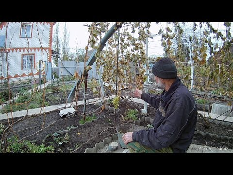 Виноград после заморозка.Проверяем морозостойкость винограда Плевен устойчивый