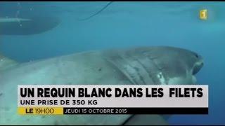 Un requin blanc de 3,90 m capturé en baie de Saint-Paul - 15/10/2015