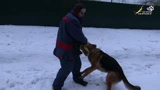 Много здоровья у этой немецкой овчарки, дрессировка собак