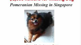 Help! Reward For Lost Pomeranian (missing In Singapore)